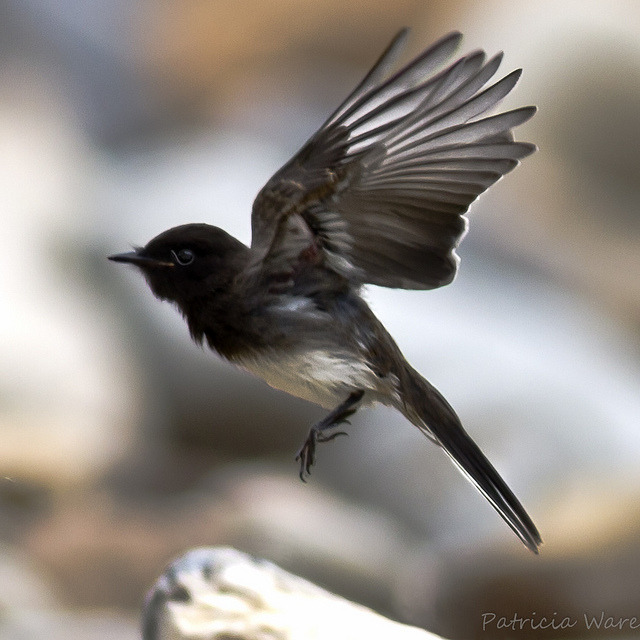 fairy-wren:  Black Phoebe (photo by Patricia Ware)   Bird