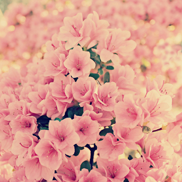 haozizi:  pink blossoms by uninvented colors on Flickr.