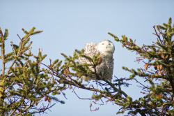 kiskex:  snowy owls near ocean shores, washington (via sarahcass.com)