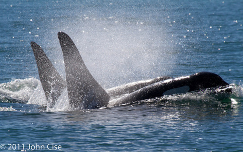 freedomforwhales:  Orcas by slice48666 on Flickr.