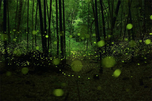 Long exposures photographs of fireflies in the forests of Nagoya Artist: Yume Cyan