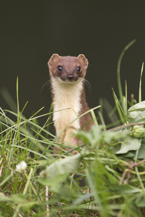 llbwwb:  Stoat (Mustela erminea) (by phil winter)