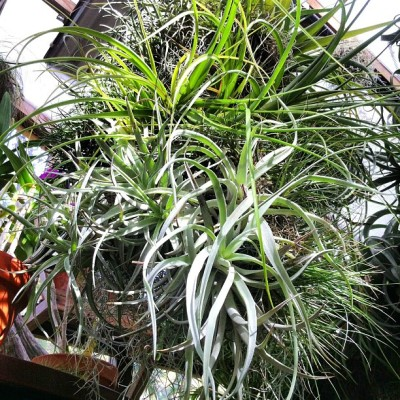 Tillandsia Topiary
