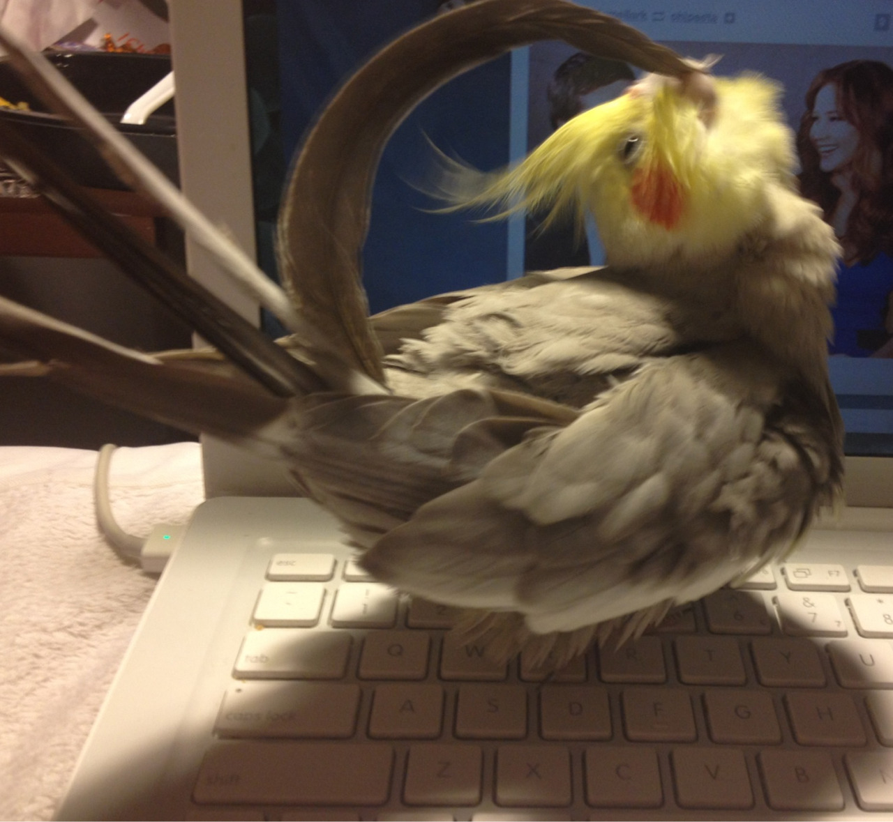 drmellark:  One of my favorite things is when he preens his tail feathers. I always add sound effects.
