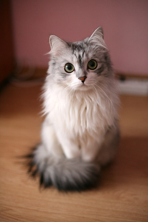 roseriku:  between-letters:  Well hello, kitty.  Most attractive cat award