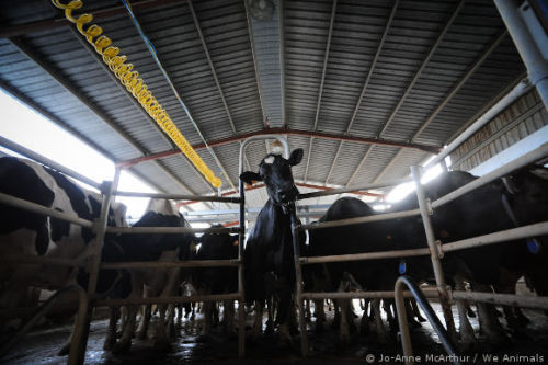 Five Misconceptions About Milk and the Dairy Industry: http://peta.vg/17k