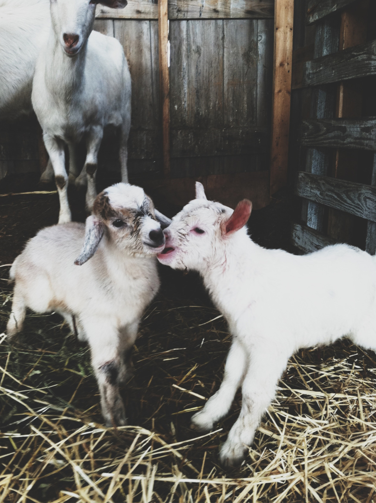 awelltraveledwoman:  My goat lady had babies last night! More on the blog awelltraveledwomam.com