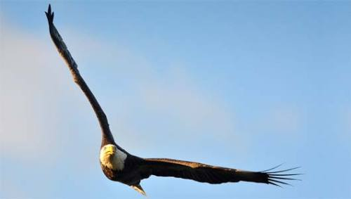 Bald eagle swoops in and steals angler's catch Bald eagles do what they want, including taking the fish that you just caught but haven't reeled in yet.