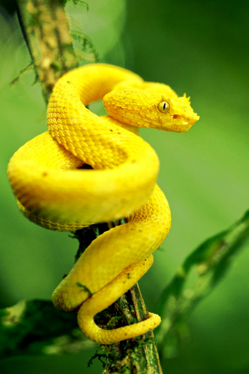 imalikshake:   Yellow eyelash pit viper (Bothriechis schlegelii) by pbertner on Flickr.