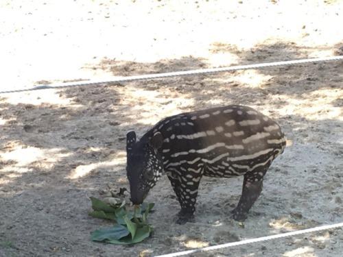 tapir baby work zoo