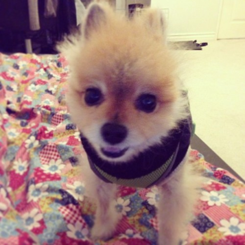 Hi Momo! 👋 #pomeranian #teddybearpom #cute #adorable #pet #dog #puppylove