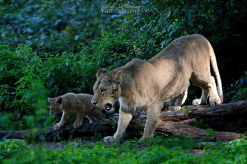 llbwwb:   Mom and cub… by *Seb-Photos.