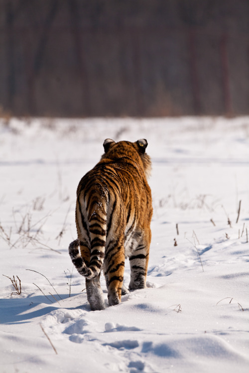 0rient-express:  the tigers tail (by missysnowkitten).