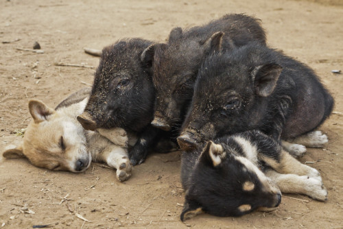 From op: Saw this (sic) young pigs cuddling with puppies in a remote hilltribe village in Laos