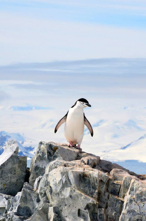 h4ilsham:  A chinstrap penguin enjoys the view from on top of the rocks at Neko Harbor, Antarctica (by Lin Pernille Photography)