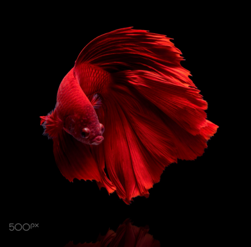 animals fish betta fish betta