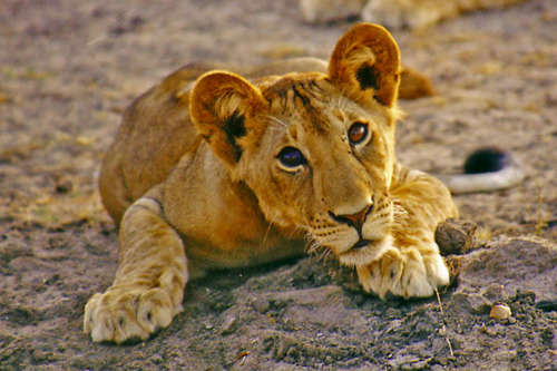 cute little lion cub eyes, selous, tanzania.