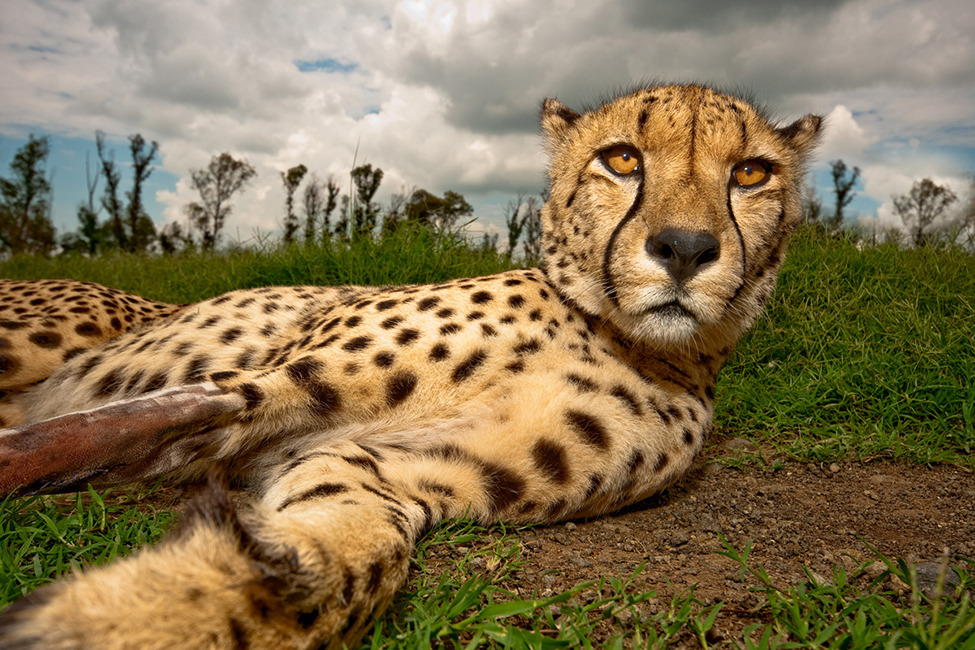 Photo of the Day: Cheetah Juba relaxes in the grass and enjoys the attention. His leg is broken due to an unknown event Photo by: Frank Trimbos (Waalijk, Netherlands); Kruger National Park, South Africa
