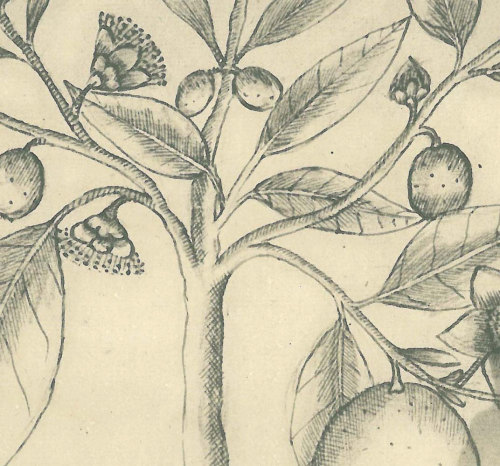 Vintage Botanical Sketch Drawing,  Araza Art Print,  Maranhao Brazil Tropical Fruit, Kitchen Decor at CarambasVintage http://etsy.me/10FAWRP