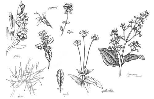 Botanical Illustrations I'm working on for the packaging of a new organic toothpaste.