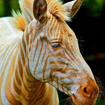 funfrom4chan:  Born in Hawaii, Zoe is the only known captive golden zebra in existence