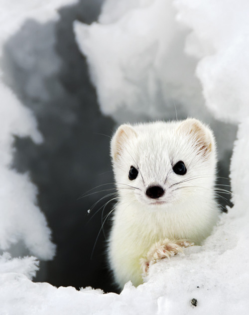 animalkingd0m:  Stoat by Hans Erik Øverland The stoat (Mustela erminea), also known as the ermine or short-tailed weasel, is a species of Mustelidae native to Eurasia and North America, distinguished from the least weasel by its larger size and longer tail with a prominent black tip.  Hehe they're in the same family as otters ^__^