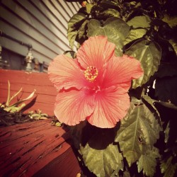 #hibiscus #flower #nature #pretty #favoriteflower