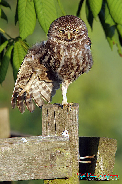 Little Owl, Athene noctua stretching its wings by Nigel Blake on Flickr. do the stanky leg