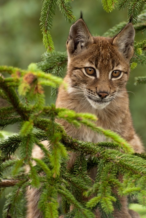 pagewoman:  Baby lynx  by Luca D'Ambros on 500px