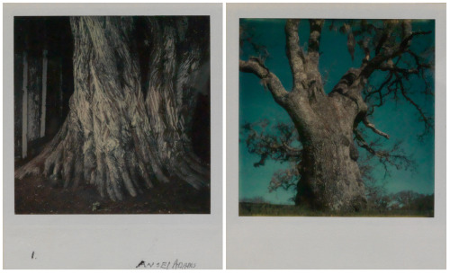 Ansel Adams, two of a group of four studies of trees, Unique Polaroid SX-70 prints, 1972-1974   Today we celebrate the birthday of Ansel Adams (1902-1984), one of the finest landscape photographers to ever live.