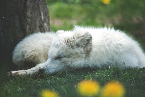theanimaleffect:  Arctic Fox by HollyBerry255 on Flickr.