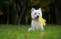 animals-animals-animals:  West Highland Terrier (by Gintarė P.)