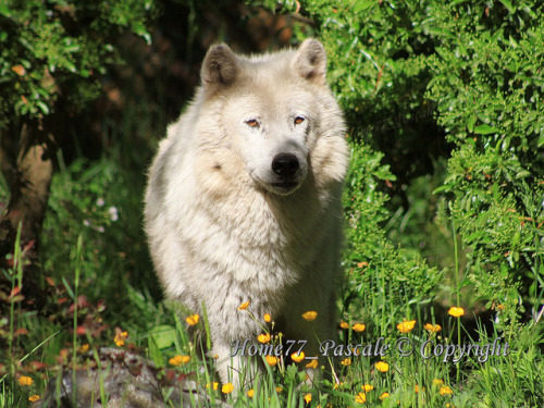 Loup arctique by home77_Pascale on Flickr.