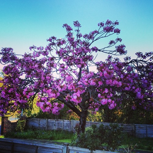 #blossom #summer #pink #tree #morning #am