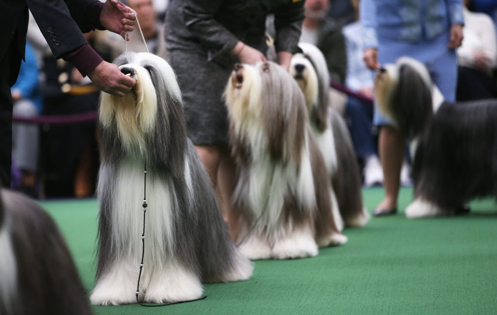 SUCH HIPSTERS. Bearded collies compete in the 137th Westminster Kennel Club Dog Show on February 11, 2013 in New York City. A total of 2,721 dogs from 187 breeds and varieties are to compete in the event, hailed by organizers as the second oldest sporting competition in America, after the Kentucky Derby. The Best in Show dog is to be selected at Madison Square Garden Tuesday night.  (Photo by John Moore/Getty Images)