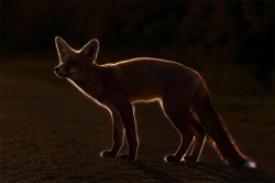 theanimalblog:  Fox in Sundown. Photo by rob_janne