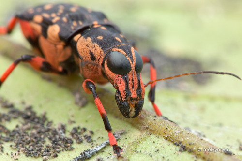 creepicrawlies:  Fungus weevil by ~melvynyeo