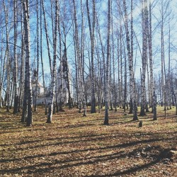 Березки-березки-березки. #russia #countryside #trees #birch #nature  (at г. Плёс)
