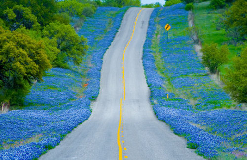 ask-the-lonestar:  Roadside bluebonnets in Texas Hill Country.