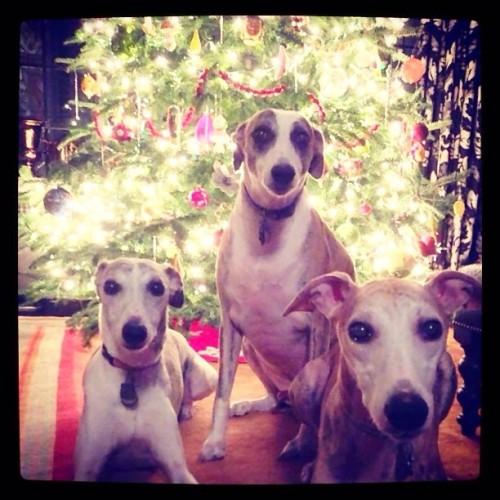vanityfair:  Is Christmas really over? @jonyc's whippets Henry, Baxter, and Monty sure hope not. #VFpets