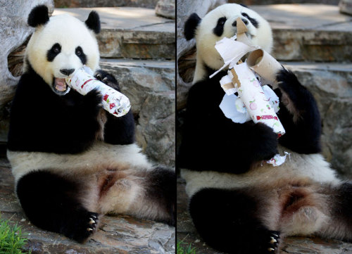 allcreatures:  Giant panda Funi opens her Christmas gift at Adelaide Zoo, Australia Picture: Newspix / Rex Features (via Pictures of the day: 13 December 2012 - Telegraph)