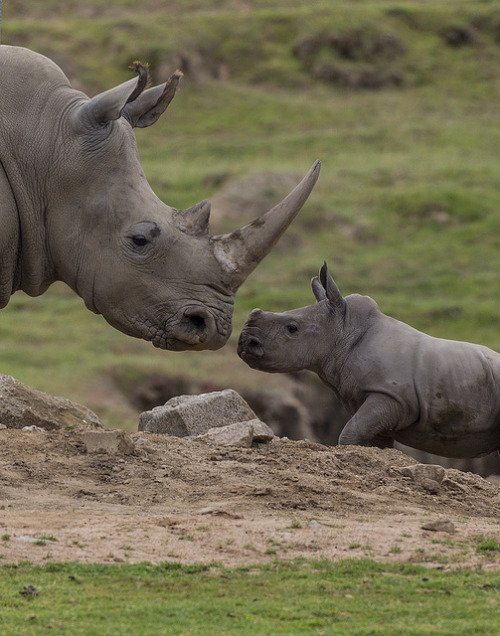 Rhino calf Kayode locks eyes with Kiazi.