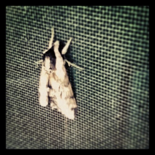Fluffy moth on the screen door