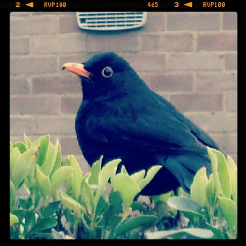 Born to model… my lucky bird #black #orange #bird #green #plant #wall #posing