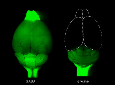 neurolove:  Image showing GABAergic neurons in the mouse brain (left). GABA is widespread through the human brain as well, and plays an important role in inhibition especially.  See the previous post for more information. [Image Source]