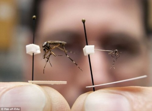 Vicious, invasive gallinipper mosquitoes are coming to eat you. They were brought to America by tropical storms, which deposited eggs in Florida. (Can't wait for the headlines out of Florida this summer.) fuckyeahinsectsandspiders:  Super-sized mosquitoes as big as quarters which can bite through clothing are headed to Florida 'in large numbers' this summer Mega-mosquitoes which are the size of quarters are expected to take over areas of Florida 'in large numbers' this summer, scientists have warned. The hurricanes of last year brought large numbers of the insects to the Central and South Florida area which laid dormant eggs in the soil near ponds and streams. Now scientists are predicting heavy rainfall will come again and cause the eggs to hatch, releasing the super-sized bugs in large numbers. The special breed of the nuisance bug, which can be 20 times bigger than common menacing Asian tiger mosquitoes, are described as 'notoriously aggressive'. They were handed the perfect breeding ground by last year's tropical storms, according to scientists at the University of Florida, so are coming to a town near you. Psorophora ciliata, or Gallinipper mosquitoes as they are commonly known, have half inch long bodies and the same black-white color pattern of the more common Asian Tiger Mosquito with a wingspan of 6-7 millimeters.  They have a 'Persistent biting behavior' and their bite is much more painful. 'The bite really hurts, I can attest to that,' said Kaufman. They can also bite through light material, and like other mosquitoes only the females bite, the males Gallinippers feed on flower nectar. They also feed on other mosquito larvae and even tadpoles and are most active at dusk and dawn.