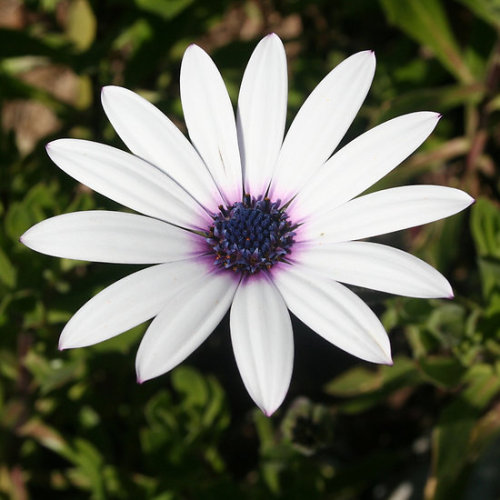 White African Daisy The modest, unassuming beauty of the daisy has a playful, childlike character that brings joy and happiness wherever it arrives. The many coloured options of the daisy provide ample opportunity to match this lovely flower to a specific personality. The daisy is the flower associated with April and the Fifth Wedding Anniversary: consider gifts for birthdays, anniversaries, bridesmaids and weddings Follow the link to see all my African Daisy – Single Stem giftsClick the links to see all of my Redbubble African Daisy Paintings,African Daisy Photography, African Daisy Greeting Cards, African Daisy Stickers, African Daisy Tees, andT-Shirts at ArttowearMy artwork, photography and design can be found in my Zazzle Galleries. Check out customizable gifts and collectables at Female Contemporary Art, Arttowear and Rottweiler Gifts Follow links to 3DRose for customizable Photography and Acrylic Art-——————————————————————————————————————————————————Canon Rebel XT 2.3.13-——————————————————————————————————————————————————