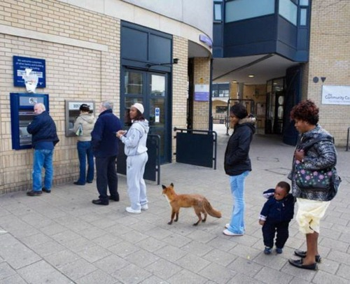 pootee:  here is a fox waiting in line for the ATM