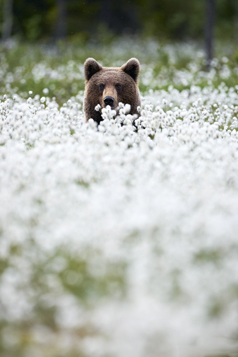 nature-madness:  Brown Bear | Andrea Marzorati
