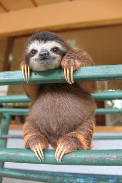 baldy-locks:  This is the cutest sloth I've seen ever